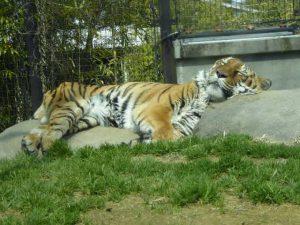 大きなトラ